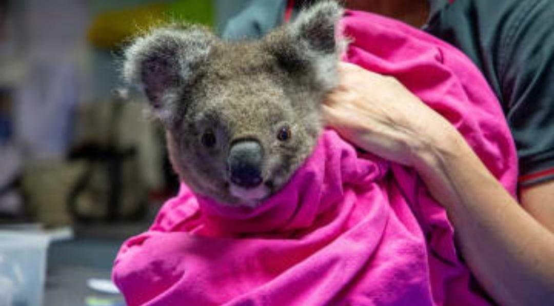 Koalas son liberados tras el incendio forestal en Australia